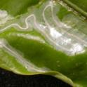 Citrus leafminer in a citrus leaf showing a frass-filled mine and a rolled up leaf edge where the insect has pupated.