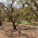 Spider mite induced defoliation in plums